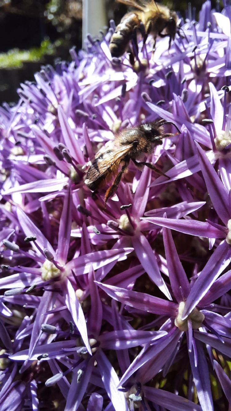 Allium met bijen
