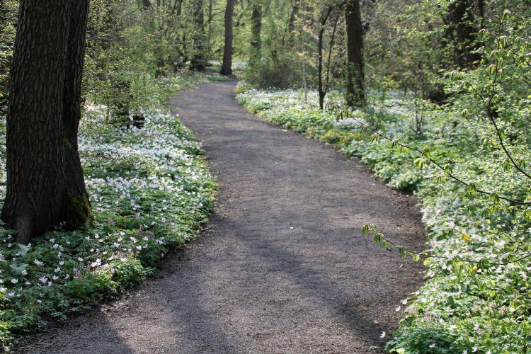 Een typisch beeld uit het sprookjesachtige Thijssepark, romantisch slingerlaantje omzoomd met bosanemoon.