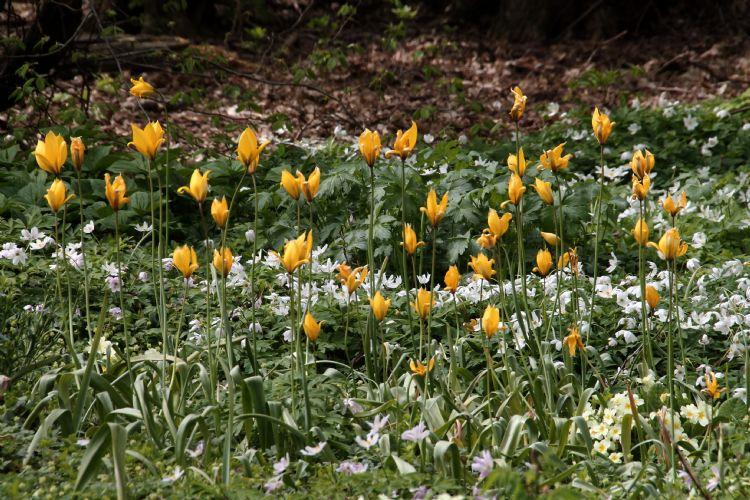 Tulipa sylverstris anemone nemorosa in het Thijssepark.