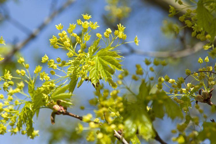 <i>Acer platanoides</i>