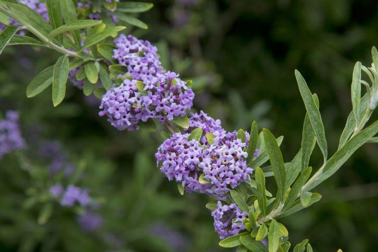 <i>Buddleja alternifolia</i>