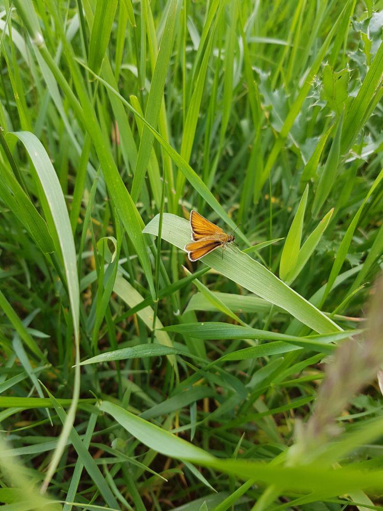 Verschillende soorten dikkopjes zetten hun eitjes af hoger in de grasvegetatie. Door ook 's winters voldoende van de vegetatie over te laten (fasering), kunnen deze soorten overleven.