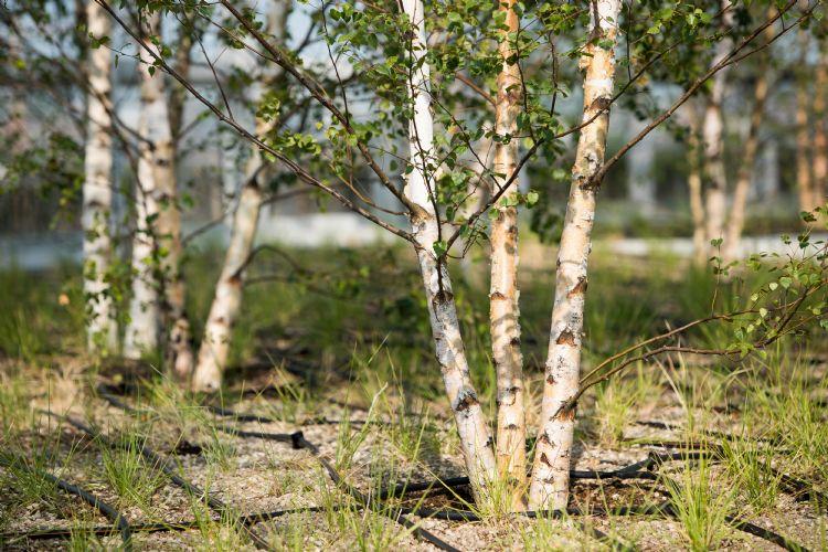 Middelie: 'Betula pubescens stelt weinig eisen aan de standplaats. Feitelijk zijn we aan het pionieren met dit grote aantal bomen op deze hoogte, zo vol in de wind. Maar aangezien Betula pubescens het vrijwel altijd en overal goed doet, verwachten.