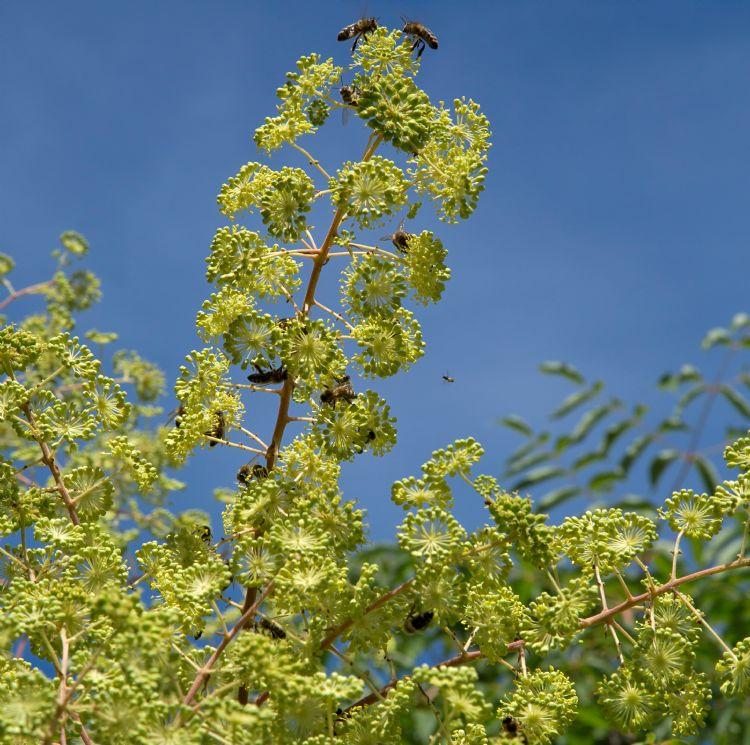 Bijen op <i>Aralia chinensis</i>