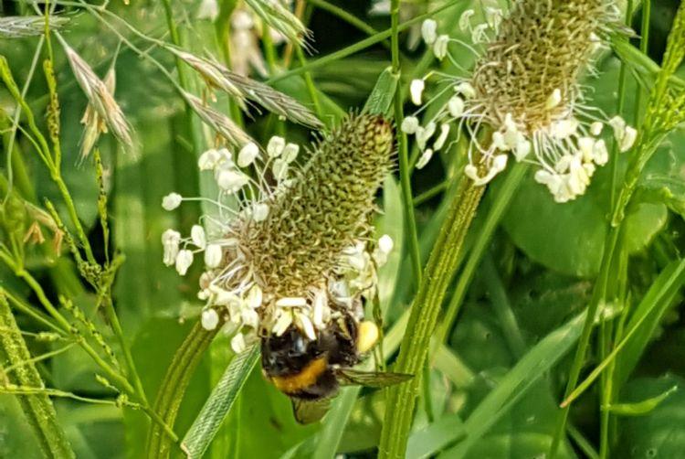 Hommel op een bloem van een smalle weegbree.