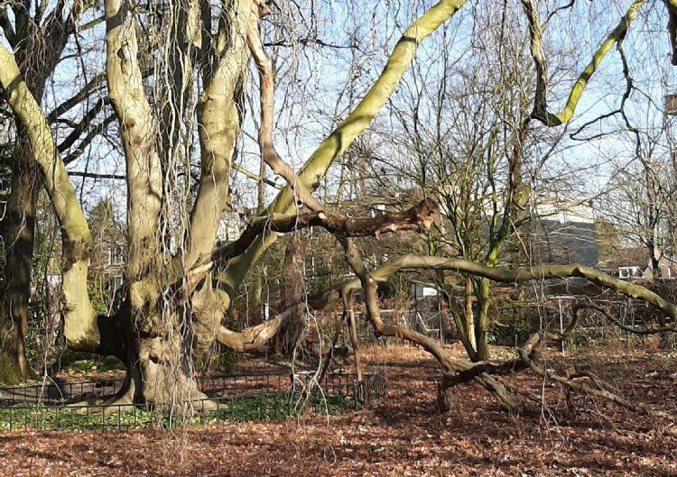Treurbeuk in Arboretum Oudenbosch: sinds een jaar of vijftien mag het blad daaronder blijven liggen, waardoor de bodem - in tegenstelling tot daarvóór - helemaal doorworteld is en tjokvol schimmels zit. Bron: Ria Coenen